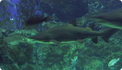Ocean World shark