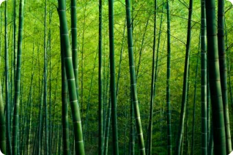 Asian bamboo forest by Robert Churchill at iStockphoto