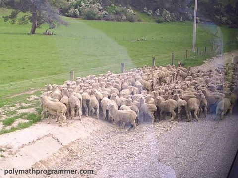 Sheep blocking road