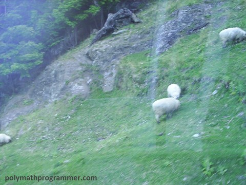 Sheep on gondola hill